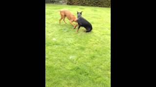 Dobermann Pup Vs Vizsla