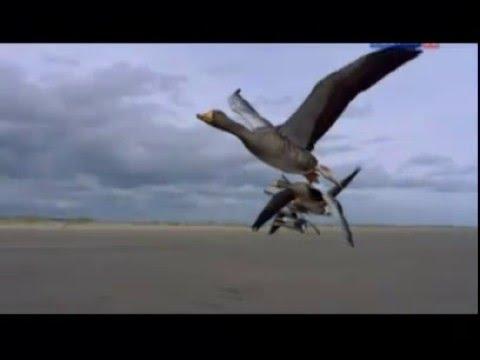 Грациозный полет гусей