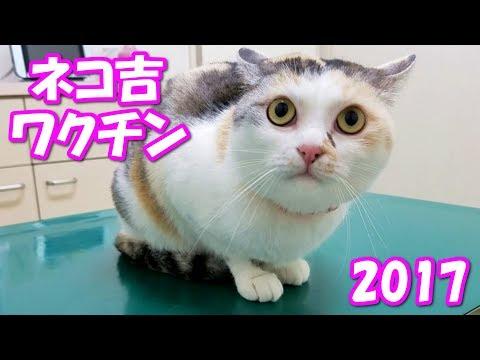 ネコ吉のワクチン接種2017 Neko Cat had a vaccination