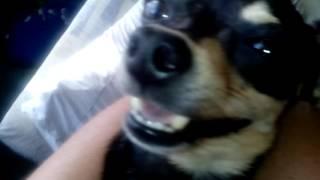 Собака говорун