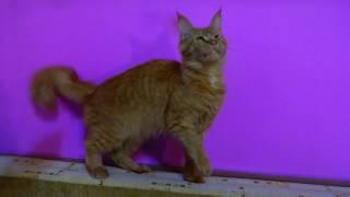 Кошка мейн кун Aurora