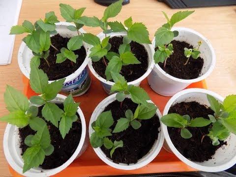 Выращивание яблони из семечка