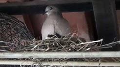 Dove nest in the garage, White-tipped Dove, Leptotila verreauxi,