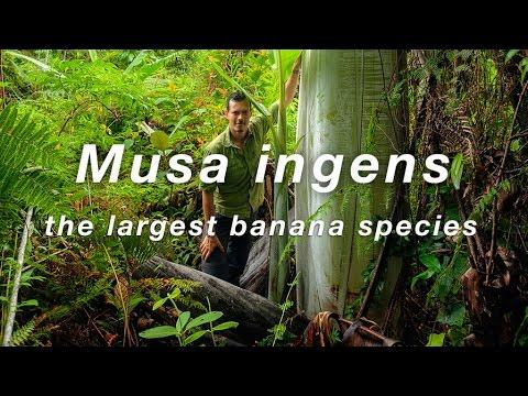 World's Largest Banana Species Musa Ingens (giant Banana) Filmed In Indonesian New Guinea