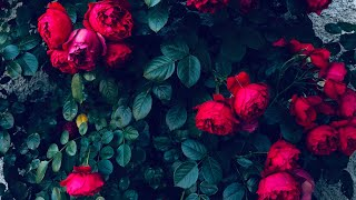 Rose collection - nature sounds