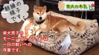 【柴犬】柴犬男子のモーニングルーティーン おはよう世界。警備隊長の朝練までをご覧くださいと思う柴犬の本気【shibainu】