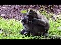Big Monkey Bite Baby Why ST944 Mono Monkey
