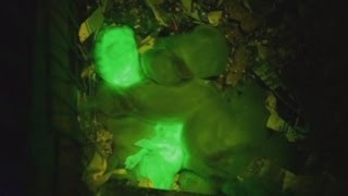 Glow in the dark rabbits created by scientists with jellyfish DNA