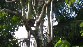 Tree Kangaroos --- on Tea Plantation in Queensland