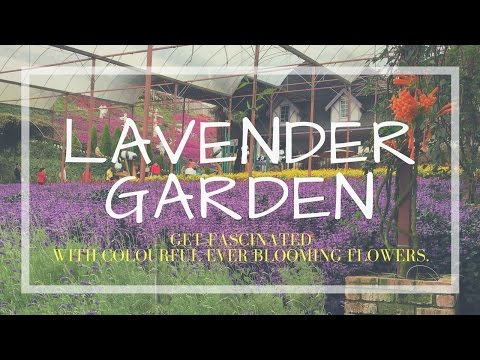 Visit Lavender Garden in Cameron Highlands 金馬倫高原│Malaysia Travel Guide