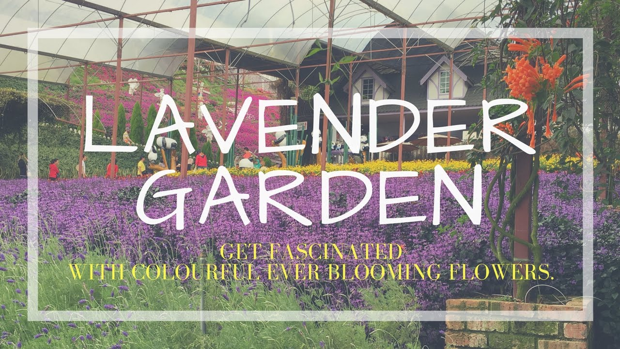 Outstanding Visit Lavender Garden In Cameron Highlands Malaysia  With Fair Visit Lavender Garden In Cameron Highlands Malaysia Travel Guide With Lovely Garden Centre Ivybridge Also Garden Sheds Aberdeen In Addition Weaver Gardens And Hilton Garden Inn Orange Park Florida As Well As Tram Stop Garden Centre Additionally Garden Center Cardiff From Youtubecom With   Fair Visit Lavender Garden In Cameron Highlands Malaysia  With Lovely Visit Lavender Garden In Cameron Highlands Malaysia Travel Guide And Outstanding Garden Centre Ivybridge Also Garden Sheds Aberdeen In Addition Weaver Gardens From Youtubecom