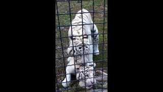 Секс Бенгальских Тигров