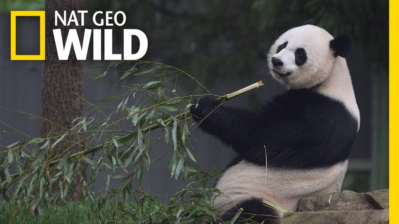 Giant Pandas 101 Nat Geo Wild Youtube