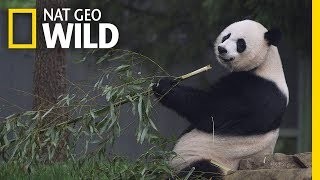 National Geographic: Giant Pandas thumbnail