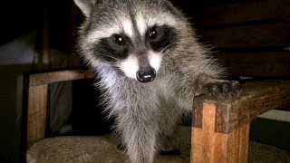 Raccoon Babies - Part 6