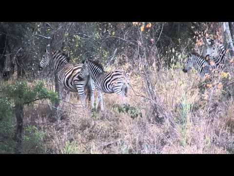 Zebras in Matopos National Park, Whovi Game Park, Zimbabwe