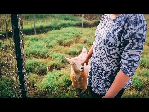 Goodbye, Mable (re-homing our goat)