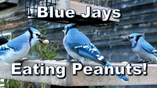 Wild Bird House : Blue Jays Eating In-shell Peanuts!
