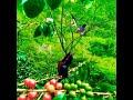 Duel Maut Kolibri Ninja Vs Murai Batu Suara Jernih  Mp3 - Mp4 Download