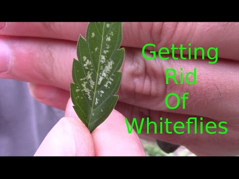 Cannabis pest control (Neem oil Whitefly)