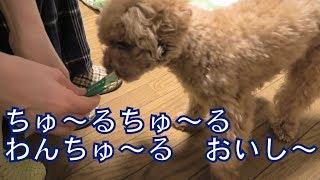 はじめていなばちゅーるを食べるトイプードルのレイリー 犬用いなばちゅ...