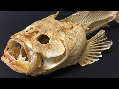 Stargazer Fish Skeleton
