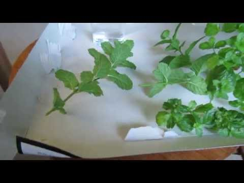 Mint, How To Propagate From Cuttings
