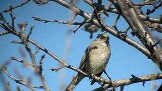 Golden-crowned Sparrow singing in Orwell, VT