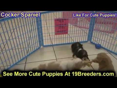 Cocker Spaniel, Puppies, For, Sale, In, Anchorage, Alaska,AK, Fairbanks, Juneau, Eagle River