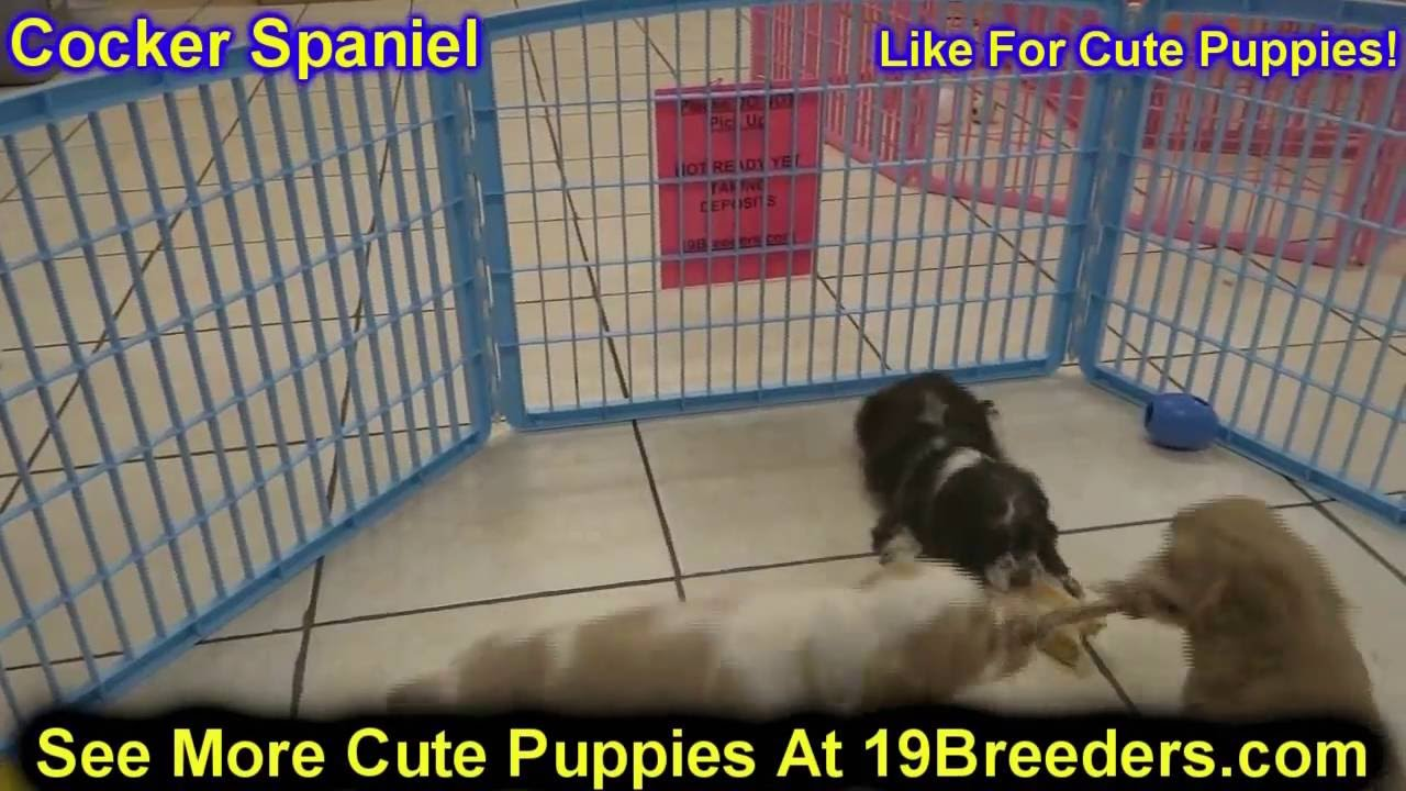 Cocker Spaniel, Puppies, Dogs, For Sale, In Anchorage ...
