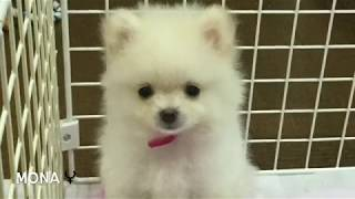 Best Of Cute Pomeranian Puppies Compilation 4                      別過來,我很凶的喔!博美狗狗吵架