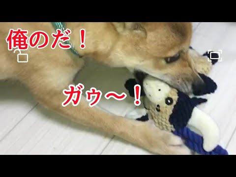 【犬の問題行動解決!】ご飯・オヤツを守る犬