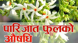 Important of Parijat Flower