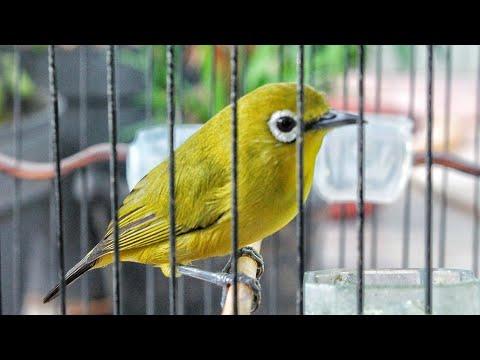 Suara Panggilan Burung PLECI BETINA BIRAHI Cepat Memancing Bunyi PLECI JANTAN Jadi Gacor & Ngalas