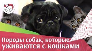 Породы собак, которые отлично уживаются с кошками на ilikepet