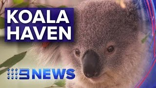 Bushfire Affected Koalas Have Safe Space To Recover | Nine News Australia