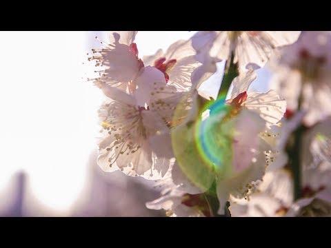 Tokyo's Hidden Cherry Blossom Park