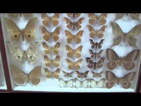 Saturniidae. Семейство Павлиноглазки или Сатурнии.