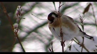 Vögel Und Ihre Stimmen - Stieglitz - Diestelfink
