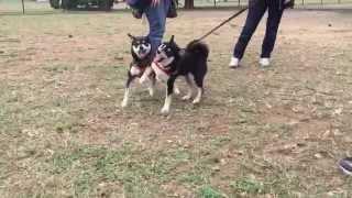 ひじきは初めて血縁の犬に会いました。