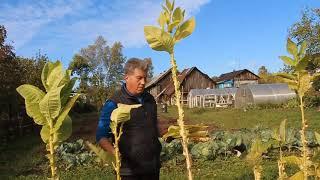 Октябрь: завершение полевого табачного сезона – финальная ломка листа