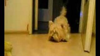 West Highland White Terrier,piesek Moniki Abi
