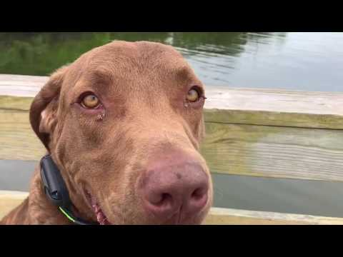 "1 Year Old Chesapeake Bay Retriever ""Snook"" 