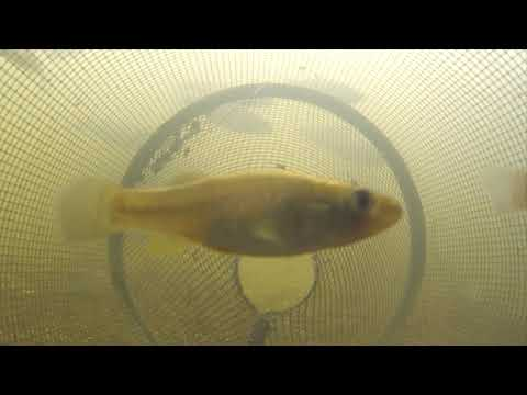 Catching Fish From Inside A Minnow Trap POV 3