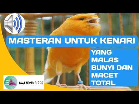 Download Lagu MASTERAN kenari AF bisa untuk terapi burung kicau macet total dan males bunyi