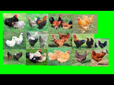 poules et conseils 6 quels races de poules choisir hd. Black Bedroom Furniture Sets. Home Design Ideas