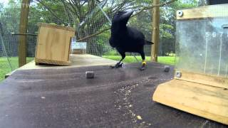 Are crows the ultimate problem solvers    Inside the Animal
