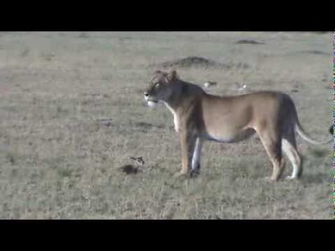 Lioness enjoys toying with a 3-day-old thomson's gazelle
