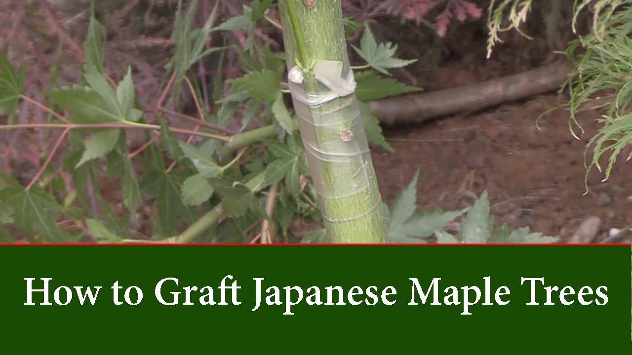 How To Graft Red And Green Leaf Japanese Maples Tips And