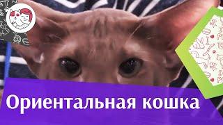 Ориентальная кошка на ilikepet. Особенности породы, уход